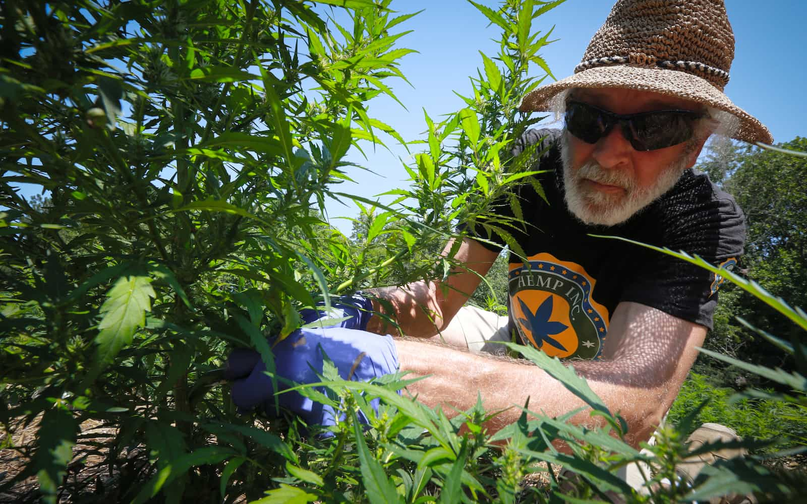 North Carolina Is Harvesting Its First Legal Hemp Crop in Decades
